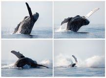 De walvisreeks van de gebochelde het overtreden Stock Foto's