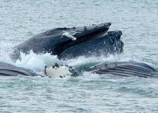 De walvissen borrelen het netto voeden Royalty-vrije Stock Foto's