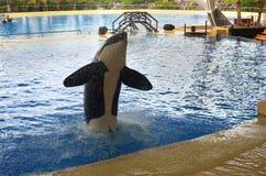 De walvissen tonen in Loro Parque Royalty-vrije Stock Afbeeldingen