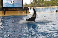 De walvissen tonen in Loro Parque Stock Afbeeldingen