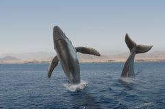 De walvissen van de gebochelde Royalty-vrije Stock Afbeeldingen