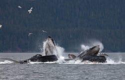 De walvissen van de gebochelde Stock Foto's
