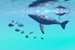 De Walvissen van de gebochelde Stock Foto