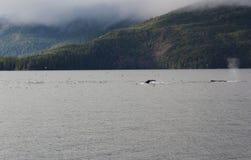 De Walvis van de gebochelde in Alaska stock afbeelding