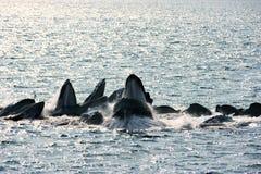 De walvissen van de gebochelde hetnetto voeden Royalty-vrije Stock Afbeeldingen