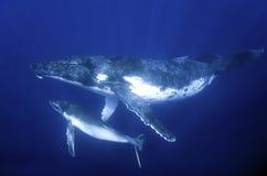 De walvissen van Humback Royalty-vrije Stock Afbeelding