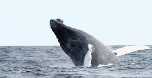 De walvissprong van de gebochelde royalty-vrije stock foto