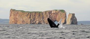 De walvissprong van de gebochelde Royalty-vrije Stock Afbeeldingen
