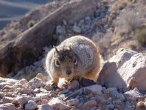 De Wandelaar van de eekhoorn Stock Foto's