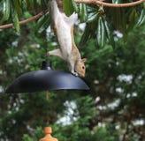 In de war gebrachte eekhoorn Stock Foto's