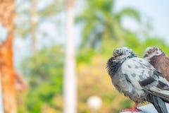 De ware liefde van een paar duiven die samen voor altijd zullen zijn stock afbeelding