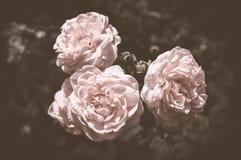 De warme tonen van Rose Vintage Flowers In Stock Foto