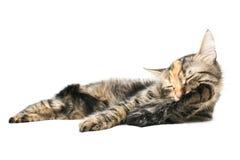 De Was van de kat Stock Foto