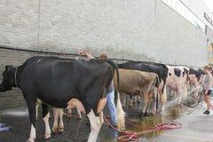 De Was van de koe. Stock Foto