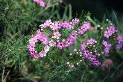 De Was Wildflower van Geraldton Royalty-vrije Stock Afbeeldingen