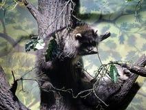 De wasbeer beklimt een boom Wasbeer in gevangenschap royalty-vrije stock fotografie