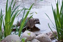 De wasbeer bevindt zich op de kust van de vijver, stock afbeeldingen
