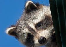 De wasbeer die van de baby van het dak gluurt Stock Fotografie