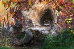 De wasbeer (Procyon-lotor) gluurt uit van binnenuit Logboek Royalty-vrije Stock Fotografie