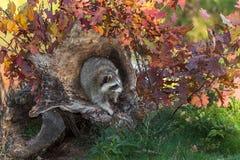 De wasbeer (Procyon-lotor) kijkt net van Logboek Royalty-vrije Stock Fotografie