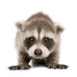 De wasbeer van de baby (6 weken) - lotor Procyon royalty-vrije stock afbeeldingen