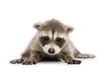 De wasbeer van de baby (6 weken) - lotor Procyon Stock Afbeelding