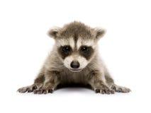 De wasbeer van de baby (6 weken) - lotor Procyon royalty-vrije stock afbeelding