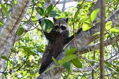 De wasbeer van Florida Royalty-vrije Stock Afbeelding