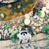 De wasbeer wil naar huis gaat Royalty-vrije Stock Fotografie