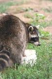 De wasbeer ziet terug eruit Royalty-vrije Stock Afbeelding