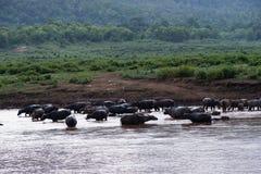 De waterbuffels genieten van zwemmend in rivier Royalty-vrije Stock Foto