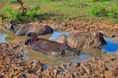 De waterbuffels leggen in de bruine modder in Yala Nationalpark Royalty-vrije Stock Foto
