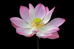 De waterlelie, bloeiende lotusbloembloem in de vijver isoleert op zwarte achtergrond Stock Afbeelding