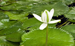 De waterlelie van de bloem in een vijver, Royalty-vrije Stock Foto's