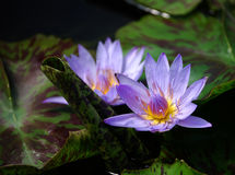 De Waterlelie van de lavendel Royalty-vrije Stock Afbeelding