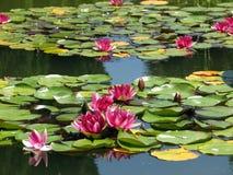 De waterlelies Royalty-vrije Stock Foto's
