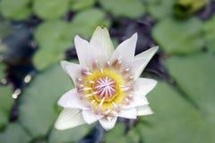 De waterlelies beginnen te bloeien Stock Foto's