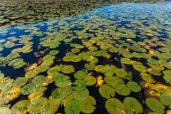 De waterlelies Uitgespreide Bezinningen van het Meer Stock Afbeelding
