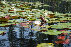 De Waterlelies van de Ciprestuinen van Sc van Charleston Stock Afbeeldingen