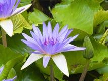 De Waterlelies van Penang Stock Afbeelding