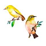 De waterverf van de wit-oogvogel op een witte achtergrond wordt geïsoleerd die Royalty-vrije Stock Foto's