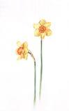 De waterverf van gele narcissen het schilderen Stock Afbeelding