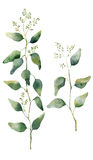 De waterverfeucalyptus gaat en vertakt zich met bloemen weg Hand geschilderde bloeiende eucalyptus Bloemendieillustratie op witte royalty-vrije illustratie