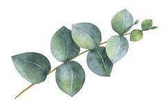 De waterverfhand schilderde de de zilveren bladeren en takken van de dollareucalyptus stock illustratie