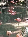 De Waterverven van de flamingo Stock Illustratie