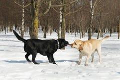 De wedstrijd van Labrador bij de winter Stock Afbeeldingen