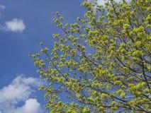 De weelderige de lente groene bladeren op boom vertakken zich, blauwe hemel, witte wolken backgroud Royalty-vrije Stock Foto