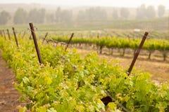 De weelderige Wijngaard van de Druif in de de Zon en Mist van de Ochtend Stock Foto's