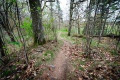 De weg door het de lentebos gaat rond de pijnboomboom Stock Foto's