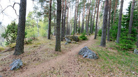 De weg door het de lentebos gaat rond de pijnboomboom Stock Foto